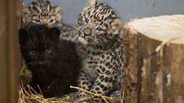 Trzy nowo narodzone lamparty