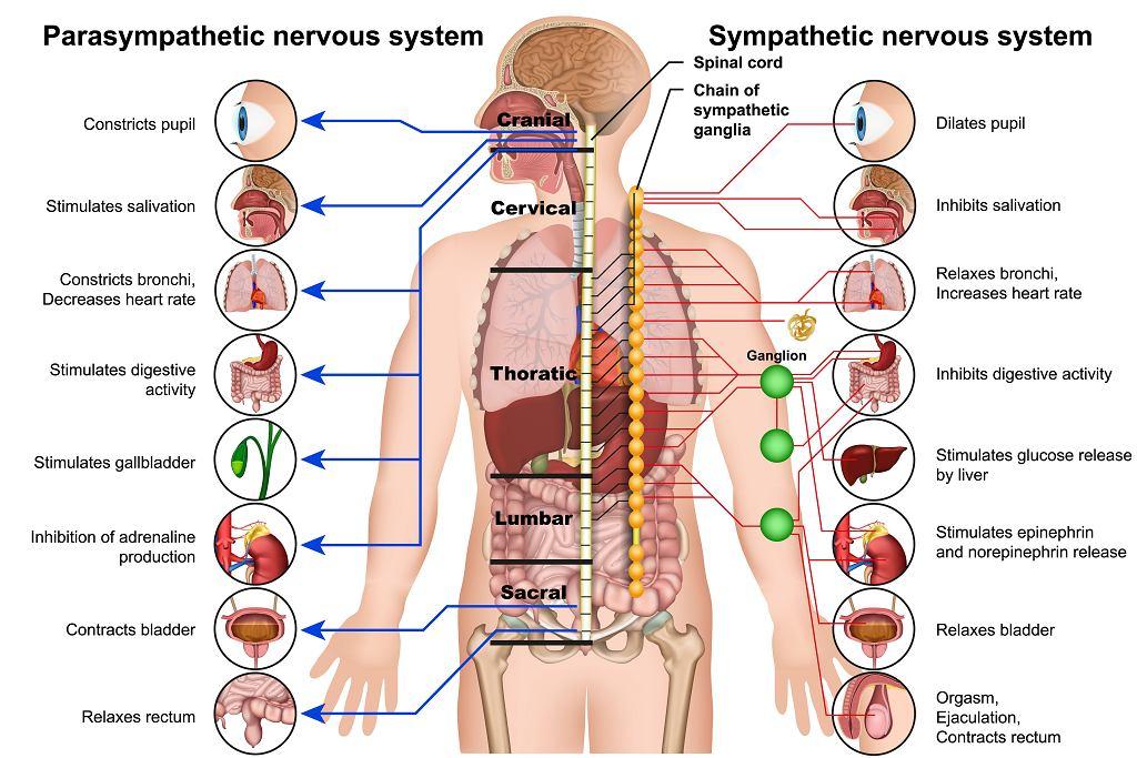 Autonomiczny układ nerwowy i jego wpływ na poszczególne narządy