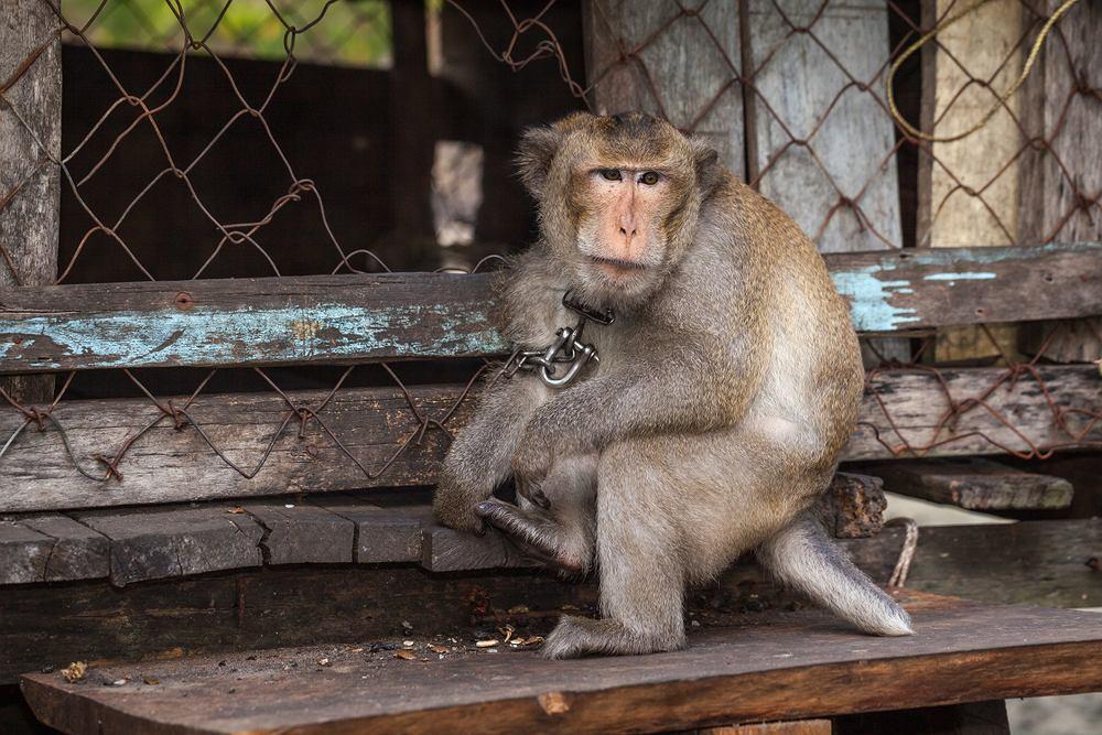 Małpy były przykute łańcuchami do starych opon lub umieszczone w klatkach, w których nawet nie mogły się poruszyć.
