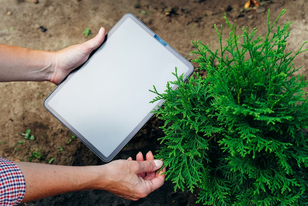Tuja to roślina iglasta z rodziny cyprysowatych, która świetnie odnajduje się w polskim ogrodzie.