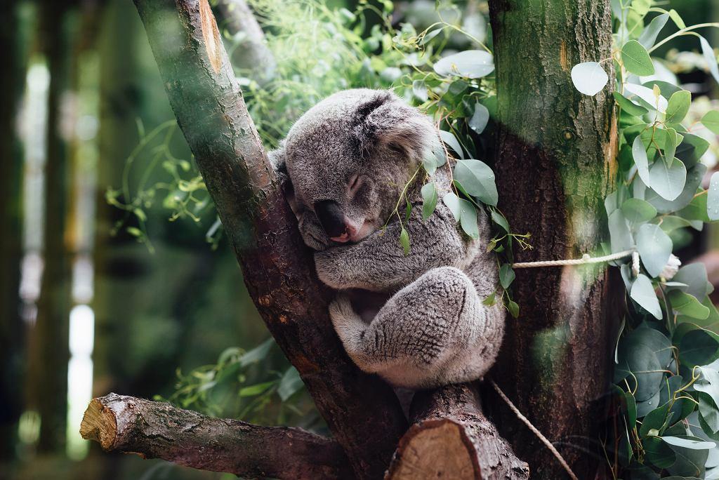 Koala (zdjęcie ilustracyjne)