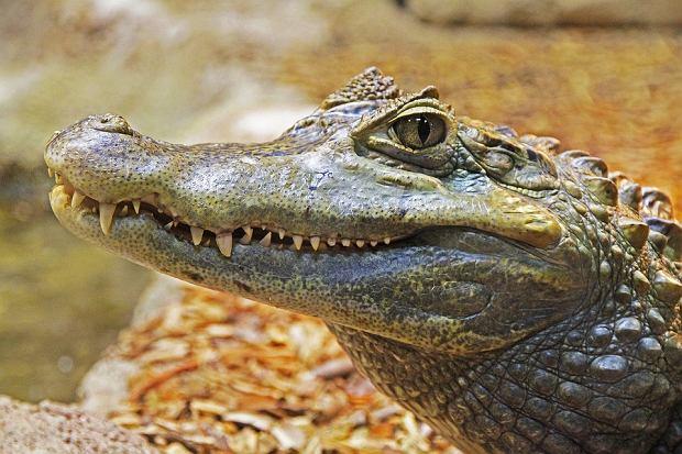 Krokodyle na ulicach Australii