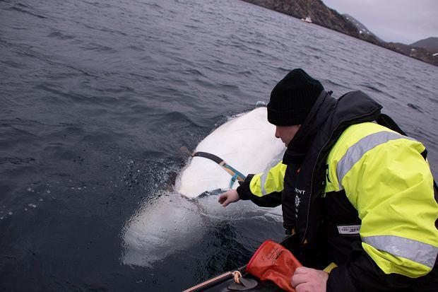Norwegia. Rybacy natrafili na walenia, który mógł 'zdezerterować' z rosyjskiej marynarki wojennej