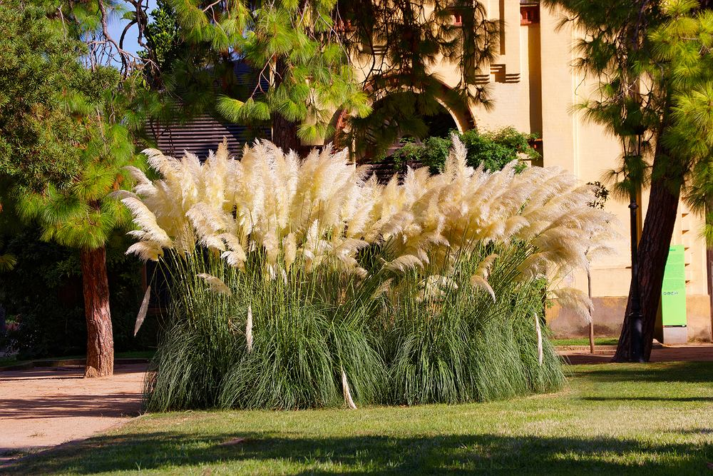 Trawa pampasowa. Zdjęcie ilustracyjne