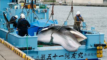 Japonia przywróciła przemysłowe połowy wielorybów
