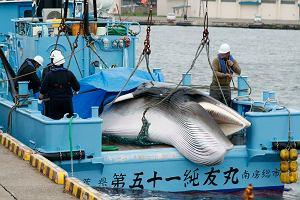 Japonia po ponad 30 latach wraca do polowania na wieloryby. Odbył się pierwszy rejs