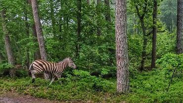 Biegająca zebra na terenie Mierzei Wiślanej