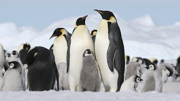 pingwin, antarktyda