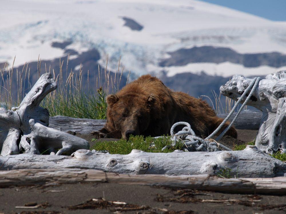 Niedźwiedź. Zatoka Glacier, USA / fot. Shutterstock