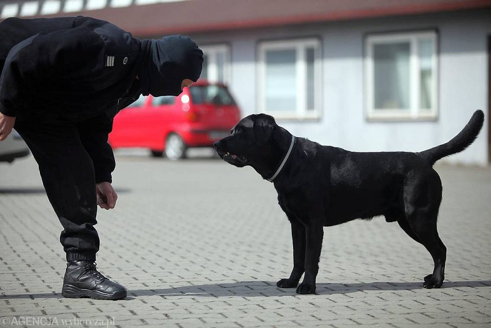 Labrador Koks wykrywa narkotyki