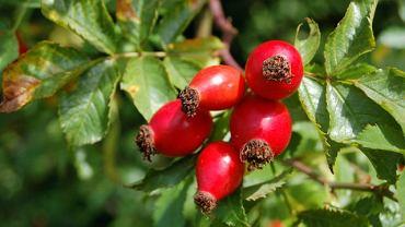 Dzika róża zawiera 30 razy więcej witaminy C niż cytryna