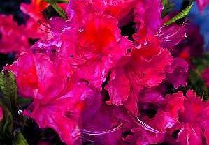 Azalia. Pomarańczowo-różowa 'Sarina' o fryzowanych kwiatach to krzew w wysokości dwóch metrów.