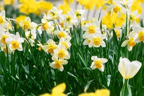 Rozmnażanie i sadzenie narcyzów
