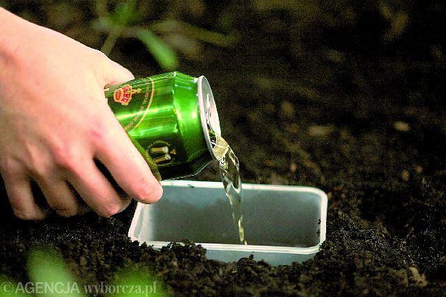 W ziemię wkopujemy głęboki pojemnik, do którego wlewamy piwo. Jego zapach zwabi ślimaki w pułapkę