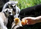 Lemury z nieufnością spoglądają na mrożone owoce, które podaje im pracownik zoo Bioparco - Zdjęcia
