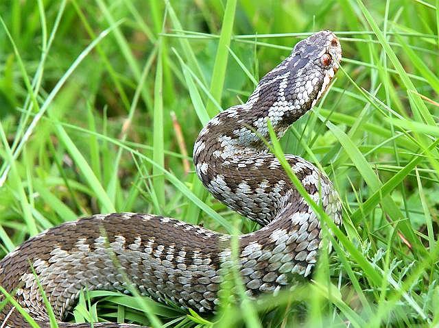 Żmija zygzakowata jest naszym jedynym jadowitym wężem