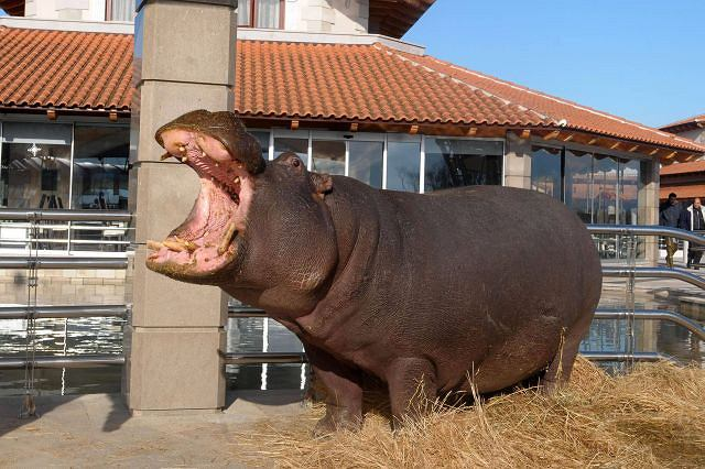 Hipopotamica Nikica uciekła z ZOO. AP/RISTO BOZOVIC