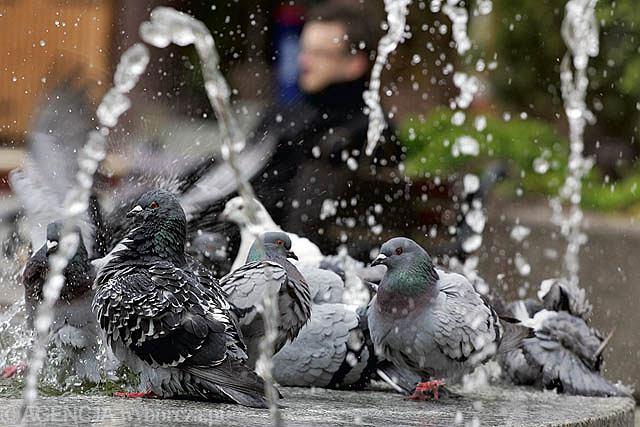 Ulubionym miejscem olsztyńskich gołębi jest fontanna.
