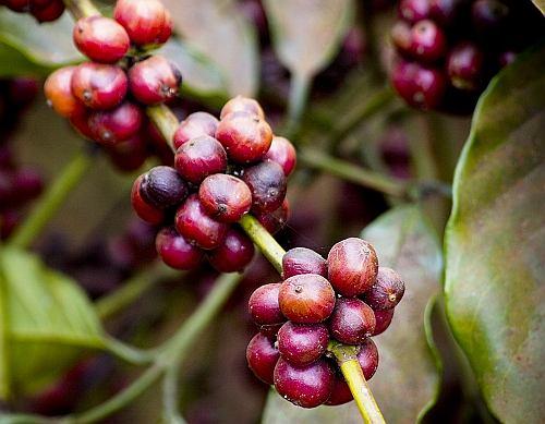 Ziarna kawowca - łaskun wybiera te najdojrzalsze i najbardziej czerwone
