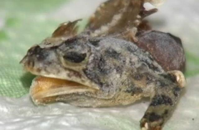 Kolejna żaba, znaleziona przez Chasity Erbaugh w mrożonce z Wal-martu.