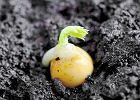 Groszek zielony (Pisum sativum). Groszek cukrowy