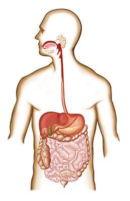 Przewód pokarmowy. Trawienie jest złożonym procesem, który obejmuje szereg narządów, od jamy ustnej do jelita grubego. Niestrawione resztki zostają wydalone przez odbyt