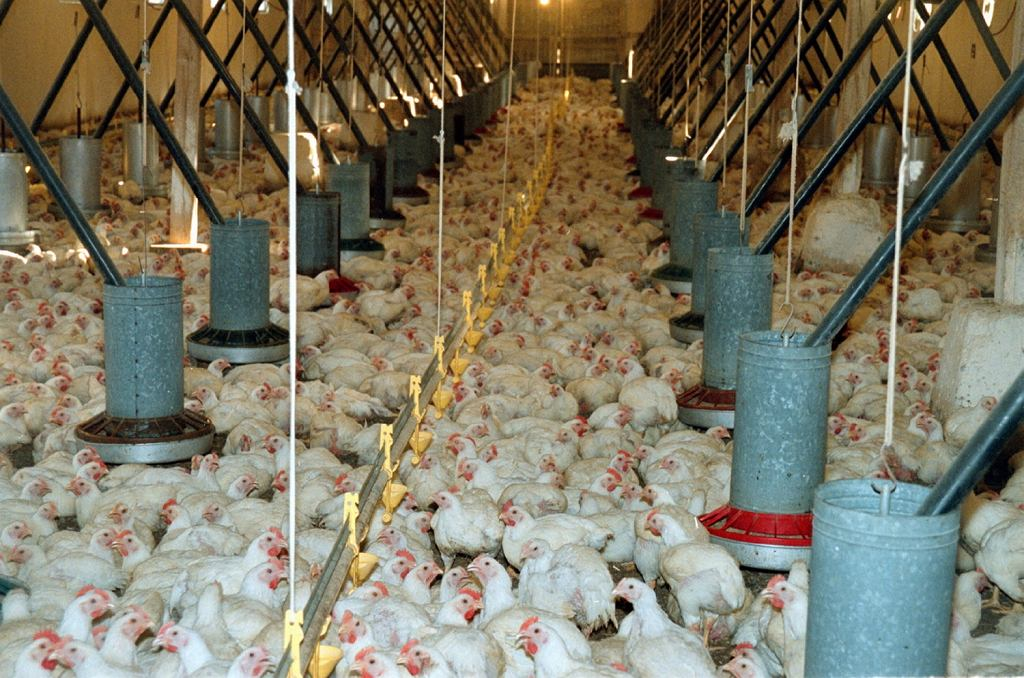 Wartości odżywcze kurczaka wolnowybiegowego i tego z tzw. chowu intensywnego znacznie się różnią (fot. Ireneusz Cieślak / AG)
