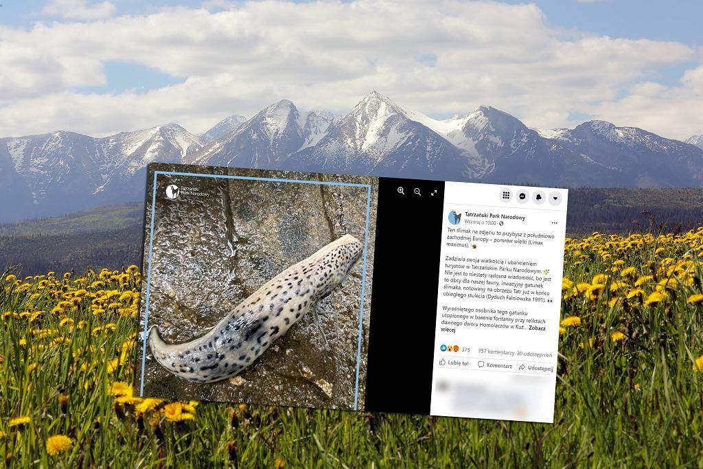 Widok na panoramę Tatr. Pomrów wielki pojawił się w Tatrach i może zagrażać rodzimym gatunkom ślimaków.
