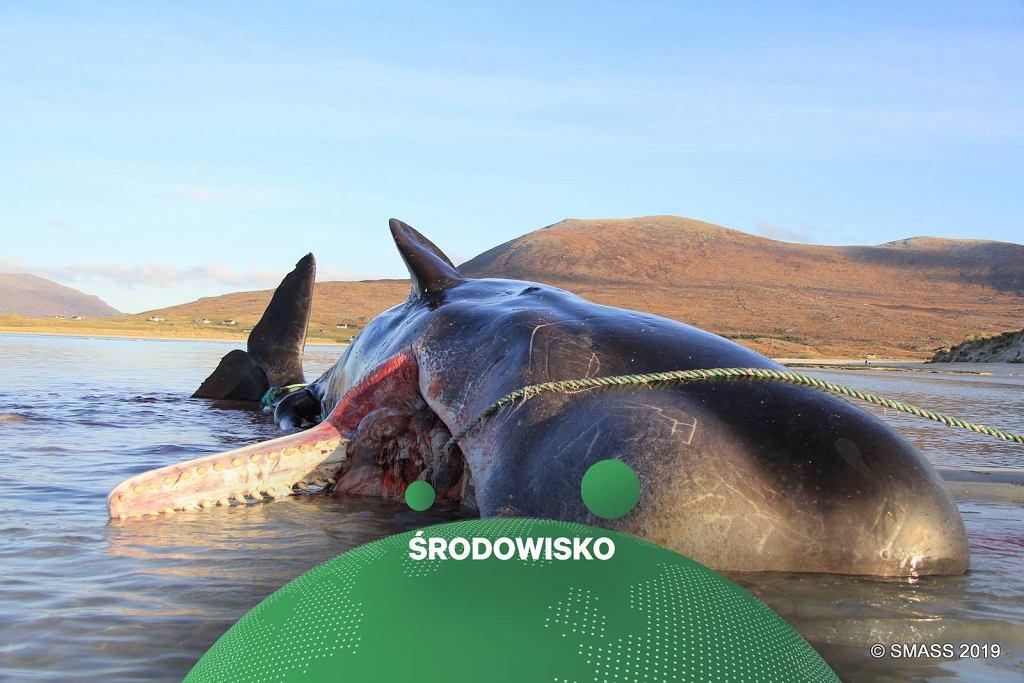 Martwy Kaszalot u wybrzeży Szkocji. W jego żołądku znaleziono 100 kilogramów śmieci.
