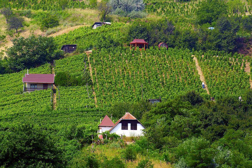 Winnice w regionie Tokaj, Węgry / fot. Shutterstock