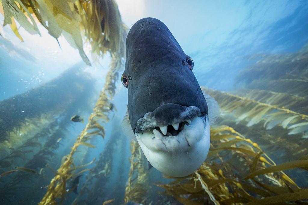 Wargacz może dorastać do 1 m i jestjednym z strażników 'lasu' wodorostów. Wielkie zęby i twarde 'wargi' pozwalają mu żywić się jeżowcami. Park Narodowy Channel Islands, Kalifornia