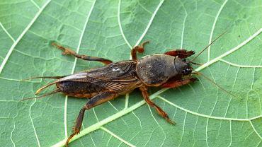 Niektórzy uważają, że turkuć podjadek jest... grzybem. A to owad i to powszechny.