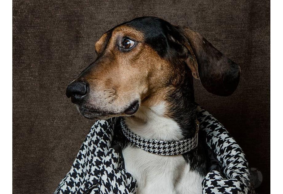 Pepitka zwana jest również 'psim zębem'