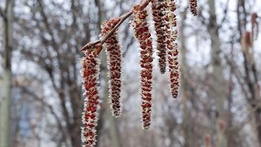 Kalendarz pylenia 2019, czyli co teraz pyli? Niestety, może być tego dużo: drzewa, trawy, grzyby... Kalendarz alergika jest pełen kończących i rozpoczynających się okresów pylenia