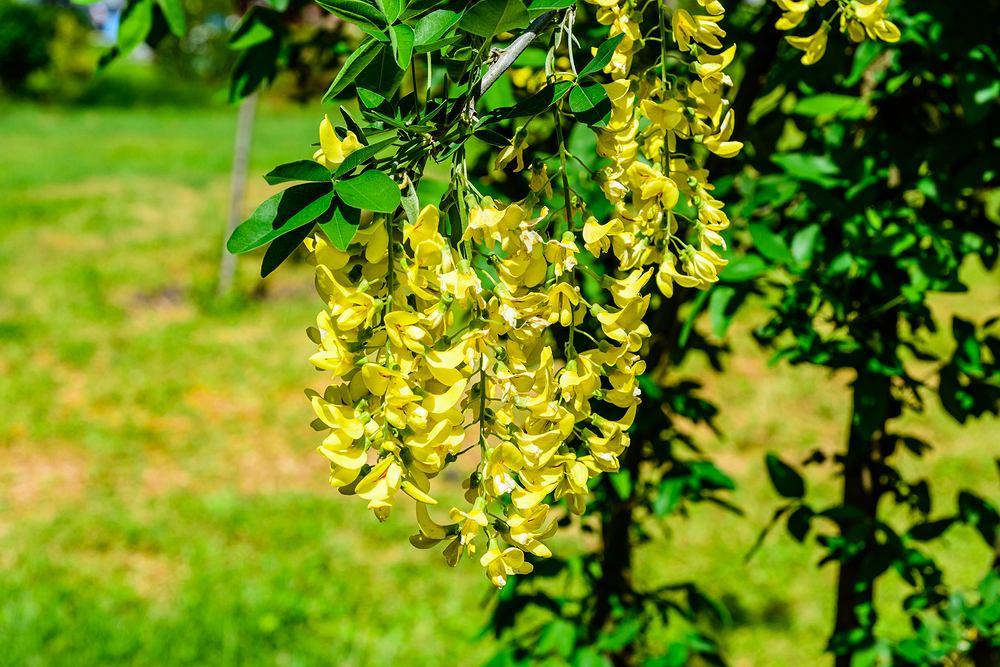 Kwiaty / rośliny niebezpieczne dla psa: złotokap. Zdjęcie ilustracyjne