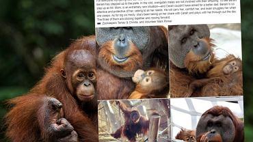 Orangutan został 'Panem Mamą'. Pracownicy zoo zaskoczeni