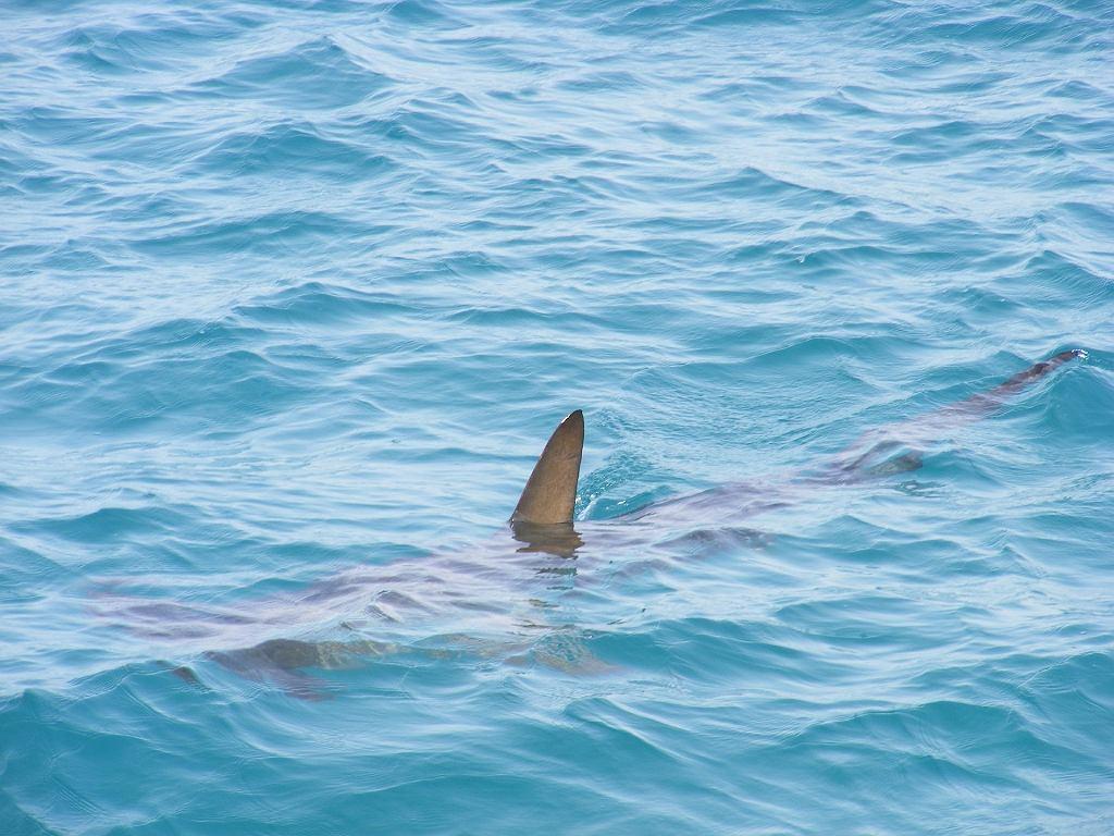 Australia. Atak rekina w miejskiej rzece. Pierwszy taki przypadek od 50 lat