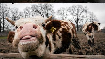 Greenpeace komentuje program PiS-u 'krowa+': To jak leczenie zapalenia płuc witaminą C