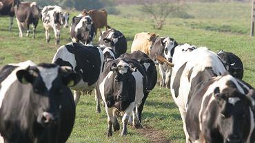 Stado krów (zdjęcie ilustracyjne)