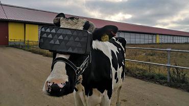 Krowa w goglach VR podczas eksperymentu rosyjskich naukowców i rolników