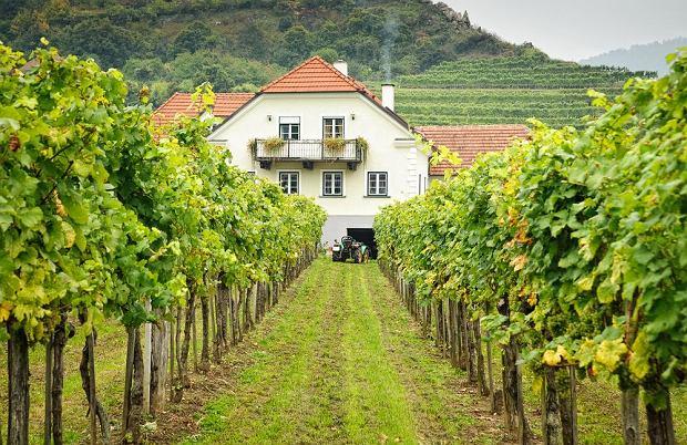 Uprawa winorośli w Wachau w Austrii / fot. Shutterstock