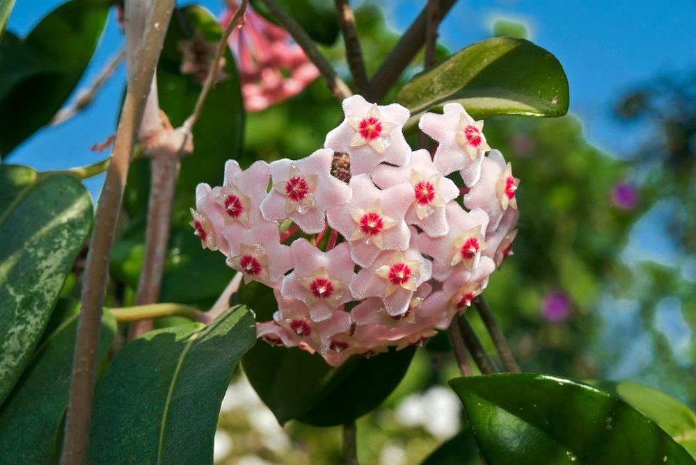 Hoja to bardzo dekoracyjna roślina. Zdjęcie ilustracyjne