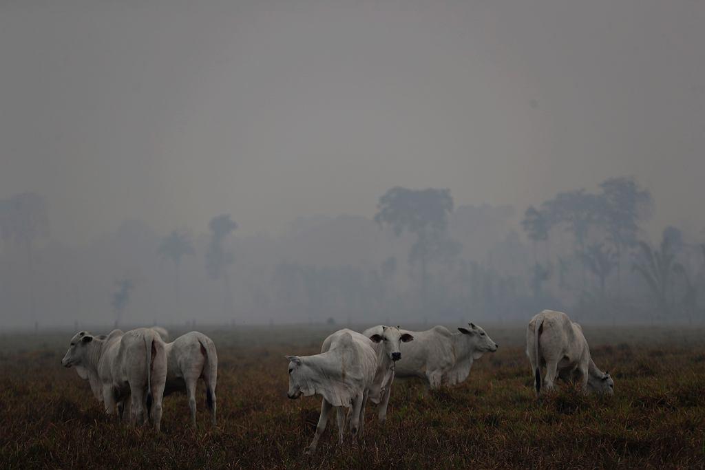 Brazylia. Pożary Amazonii. Farma bydła.