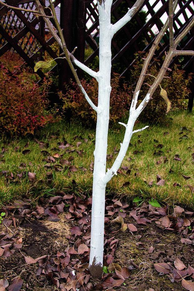 Po co bieli się drzewa? [Porady eksperta]