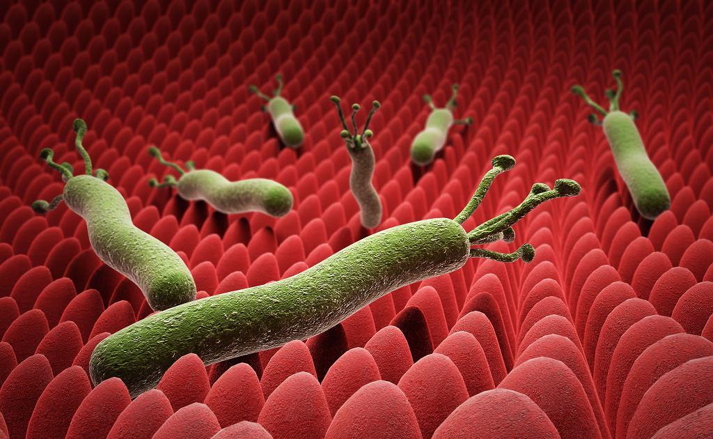 Pałeczki Helicobacter pylori na powierzchni żołądka
