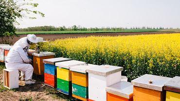 Inhalacje powietrzem z ula to nowy trend w apiterapii, czyli leczeniem produktami pszczelimi.