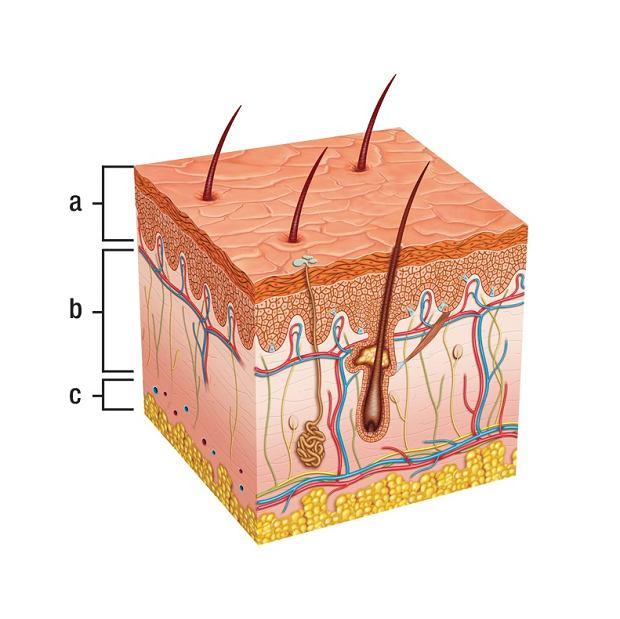 Model skóry