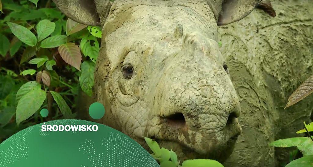 Samica nosorożca sumatrzańskiego Iman.