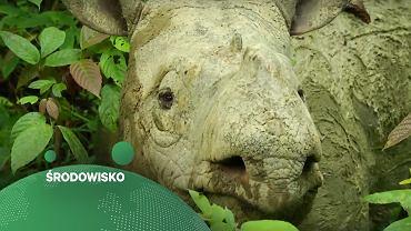 Padł ostatni nosorożec sumatrzański w Malezji. Do 2040 r. ten sam los może czekać słonie w Afryce