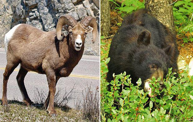 Podróże: na skraju raju czyli Kolumbia Brytyjska, ameryka północna, podróże, Owca kanadyjska i czarny niedźwiedź